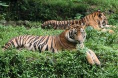 The Tigers of Sumatra