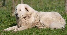 """The AKC Standard describes the Great Pyrenees as """"strong willed, independent, and somewhat reserved, yet attentive, fearless, and loyal to his charges -- both human and animal."""" We pretty much have the same personality."""