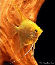 Gold Angelfish