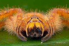 Very Hairy and a Little Bit Scary: Orange Huntsman #OrangeWednesday