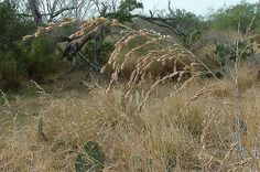 Texasgrass (Vaseyochloa multinervosa). Photo by William R. Carr.