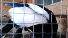 Buksi the talking magpie - this little guy is the best mi van, mi? Magpie, Van, Eurasian Magpie, Vans, Vans Outfit