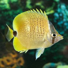 Lemon Butterflyfish is a peaceful fish that would fit well in our tank and requires moderate care! Yes, we can have a Butterfly!