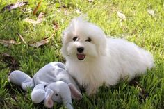 Our Nursery Of Coton de Tulear & Havanese Puppies Available By Cornerstone