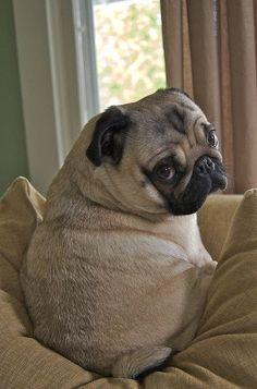 """Pug- I'm sad will u make me happy"""" you- yes and I'm starting with making you happy so here's a bone, treats and dog food! Pug- thank you sooooo much I wov u I wov u I wov u"""