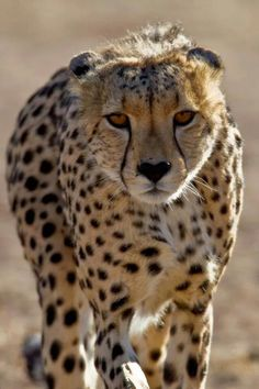 Cheetah; Thinking and Walking at the Same Time.