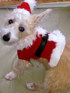 Santa's helper - Dash's first Christmas.