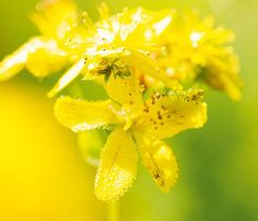 Try St. John's Wort as a Natural Treatment for Social Anxiety Personal Wellness, Health And Wellness, Health Tips, Living A Healthy Life, Social Anxiety, Alternative Medicine, Natural Treatments, Herbal Remedies, Healthy Habits