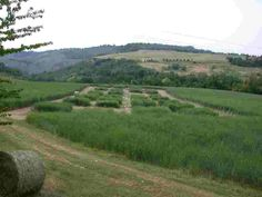 Switchgrass in Italy 2003
