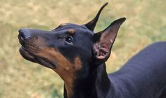 Everything you want to know about Doberman Pinschers including grooming, training, health problems, history, adoption, finding good breeder and more.