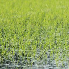 #piantine #riso #passiu #agricolapassiu #risaia #sardegna #oristano #italy #country #fields #rice