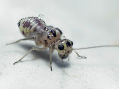 psocoptera uk - Google Search Who let the fleas out!