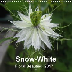 Snow-White - Floral Beauties - CALVENDO ... Delicate floral beauties in white attract our eye in front gardens and on meadows. Do not just walk by! Let yourself be enchanted throughout the whole year by the grace of these little white gems.Delicate floral beauties in white attract our eye in front gardens and on meadows. Do not just walk by! Let yourself be enchanted throughout the whole year by the grace of these little white gems.