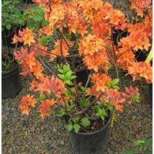 Northern Highlights Azalea | azalea exbury mandarin lights azalea exbury northern highlights azalea ...