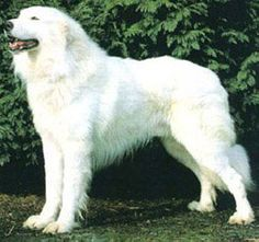 Turkish Akbash Dog / Akbaş Çoban Köpeği - Greatest Breed Ever. Love My Dog, D Is For Dog, Best Large Dog Breeds, Pet Dogs, Dogs And Puppies, Akbash Dog, Mastiff, African Wild Dog, Huge Dogs