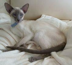 Kiyoshi, my blue point Siamese kitten