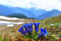Blue Gentian (Gentiana clusii)