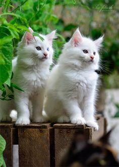 Beautiful twins! #kittens #cats