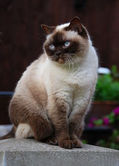 Colourpoint British Shorthair