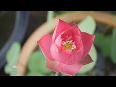 Nelumbo nucifera 'Chinese Red Shanghai' Lotus บัวหลวง 'ไชนีส เรด เชียงไฮ้' Nelumbo Nucifera, Rose, Flowers, Plants, Pink, Plant, Roses, Royal Icing Flowers, Flower