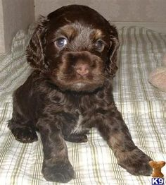 We offer 1 Cocker Spaniel puppies for sale in Missouri. These Cocker Spaniel puppies located in Missouri come from different cities, including, HARRISONVILLE. Spaniel Puppies For Sale, Cocker Spaniel Puppies, Cute Puppies, Cute Dogs, Dogs And Puppies, Clumber Spaniel, Chocolate Cocker Spaniel, Black Cocker Spaniel, American Cocker Spaniel
