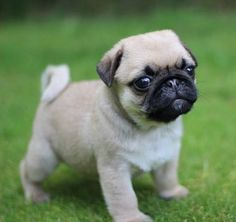Pug's Behavior Driving You Crazy? - We Love Our Pugs Cute Baby Pugs, Cute Dogs And Puppies, Cute Baby Animals, Funny Animals, Pug Breed, My Bebe, Pug Love, Dog Lovers, Cute Small Dog Breeds