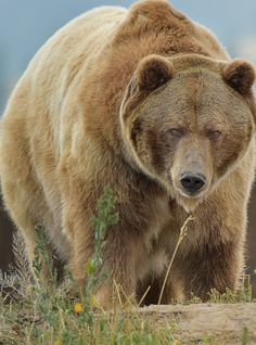 Big Grizzly by Steve Ross bear arctos nature Ross Bear Pictures, Animal Pictures, Ours Grizzly, Grizzly Bears, Animal Original, Urso Bear, Animals Beautiful, Cute Animals, Baby Animals