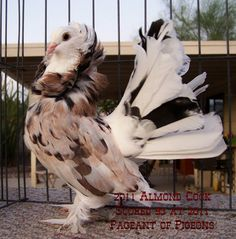 American Fantasy pigeon