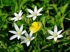 IMGP0066- Bouton d'or 毛茛 미나리 아재비 buttercup 花 花卉 꽃 çiçek blume الزهور