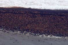 35,000 walruses hit the beach as their Alaskan hom melts away - Climate change means the marine mammals are running out of places to go. :(