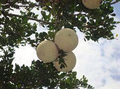 Tropical Fruits: Wood Apple.  http://www.tjcmango.com/sites/default/files/wood-apple-1.jpg