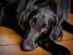 Image result for long coated retriever