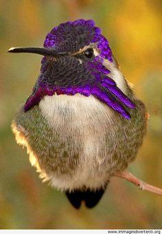 La bellezza del colibrì immaginidivertenti.org