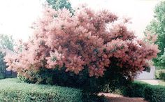 Pink Champagne Smoke Bush. I have one of these in my garden and am just in love with it.