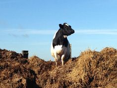 Cow on the muck pile playing queen of the  castle!