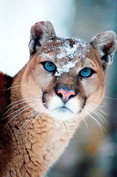 Cougar blue eyes jungle animals, cute animals, animals and pets, cat people, Beautiful Cat Breeds, Beautiful Cats, Animals Beautiful, Gorgeous Eyes, Animal Pictures, Pumas Animal, Animals And Pets, Cute Animals, Mountain Lion