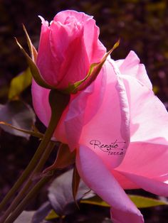 Untitled photograph by Renato Ferro Beautiful Pink Roses, Pretty Roses, Love Rose, My Flower, Pretty Flowers, Rose Pictures, Flower Photos, Primroses, Coming Up Roses