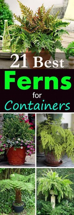 Bring the tropical interest to your potted garden with these 21 best ferns you can grow in containers!