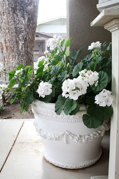 white planter and white geranium