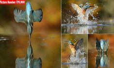 Alan McFadyen, 46, finally managed to capture a flawless kingfisher dive at Kirkcudbright in Scotland, where he used to watch the birds as a boy with his late grandfather Robert Murray.