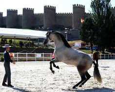 Un Pura Raza Española de Yeguada La Troyeta.  A Troyeta's P.R.E. horse ....