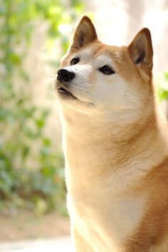 I would love to have a Shiba Inu, too. They exude contentment.