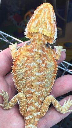 Orange Hypo Bearded Dragon