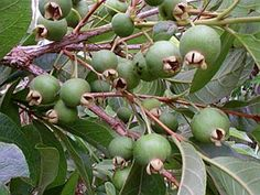 Campomanesia adamantium is a small tree with edible fruits commonly known as guavira or white guabiroba