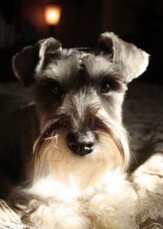 miniature schnauzer #Dogs #Puppy