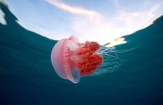 pink-jellyfish-in-the-philippines