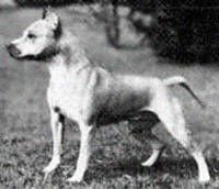 Staffordshire Terrier Club of America National Specialty Winners - Ch. Gay One Roxie - 1953