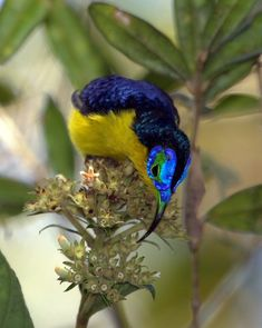 Yellow-bellied Sunbird-Asity(Neodrepanis hypoxantha) is a small species of bird from the asity family. The species is endemic to montane forest above 1600 m on the island of Madagascar.
