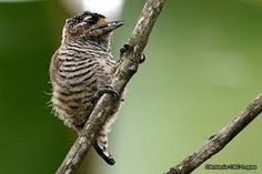 Ochraceous Piculet - Google Search