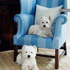 Westies are so gorgeous